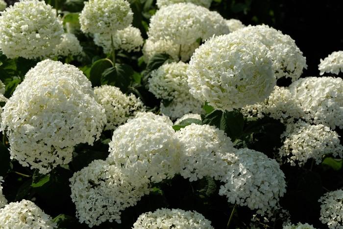 Hortenzie stromkovitá (Hydrangea arborescens)