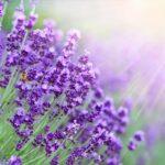 Levandule - její druhy a účinky na naše zdraví + TIPY na její využití