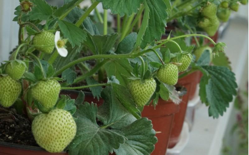 jahody v květináči na balkoně