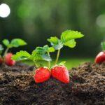 Jak pěstovat jahody - kdy sázet, jak hnojit + PŘEHLED oblíbených odrůd