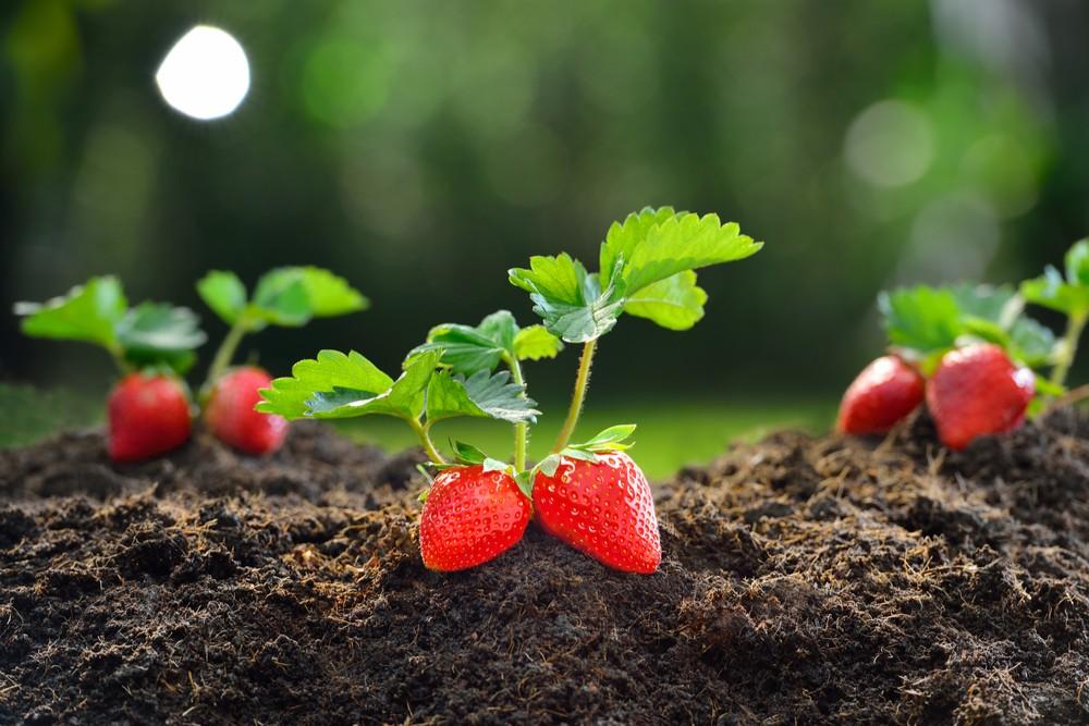 Jak pěstovat jahody