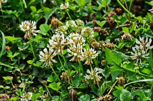 Jetel plazivá (Trifolium repens)