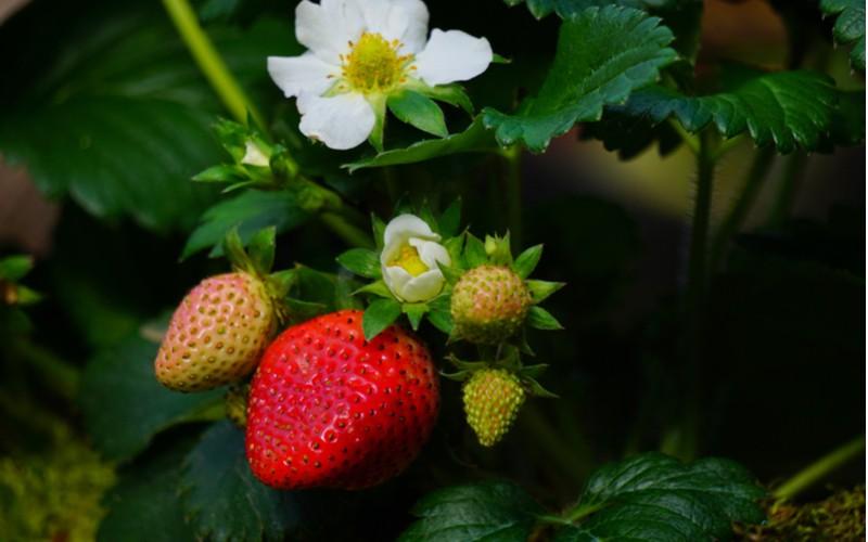 kvetoucí jahody
