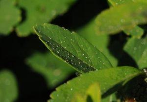 Medovice na listech