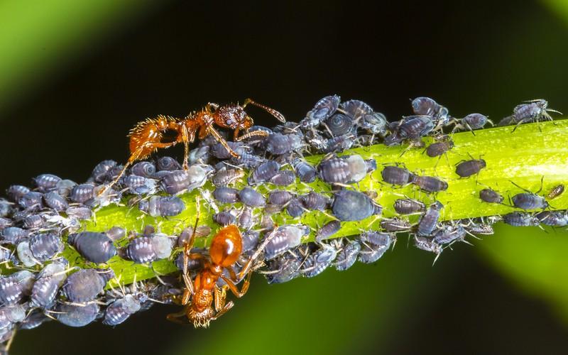 Mšice žijí s mravenci v symbióze