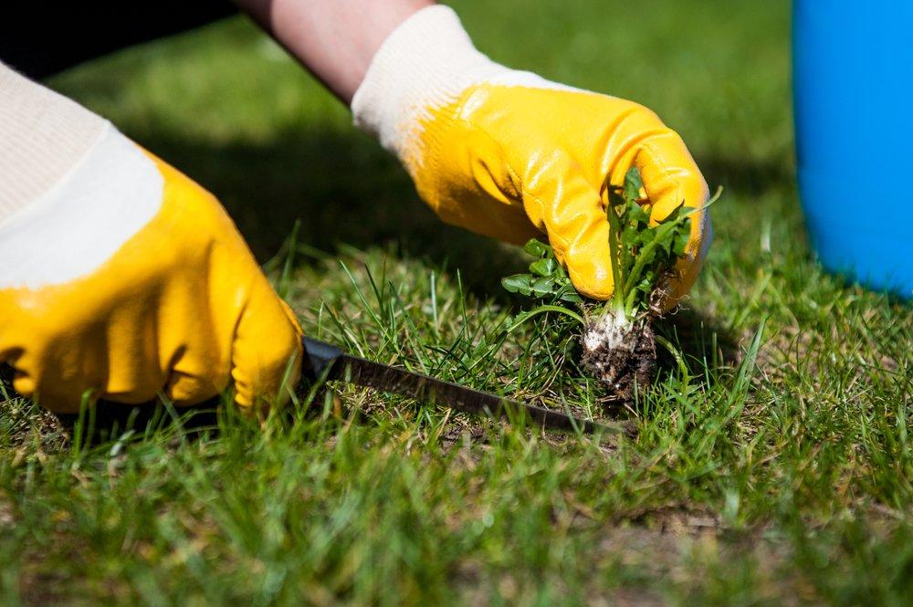 Pampeliška v trávě