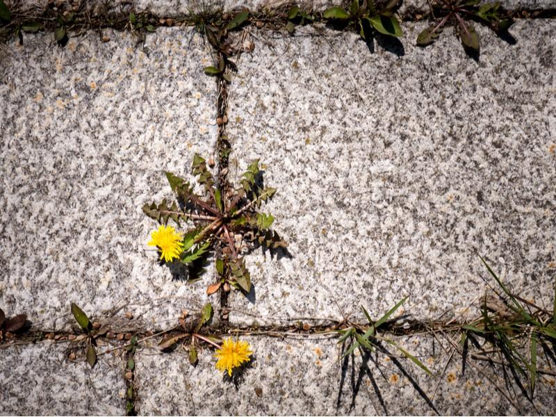 plevel v dlažbě