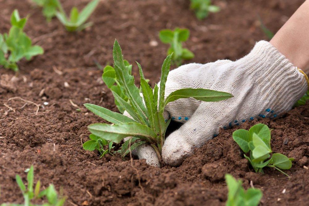 Plevel v zelenině