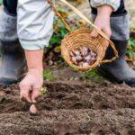 Sázení česneku a vše, co o něm potřebujete vědět + odrůdy česneku