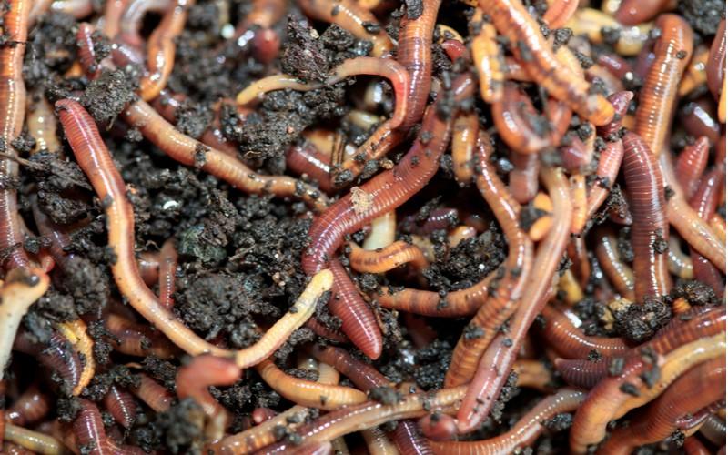 žížaly na kompost