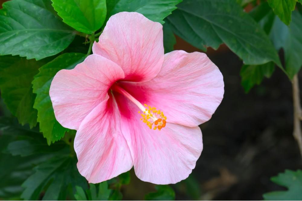 Ibišek - pěstování, péče a léčivé účinky