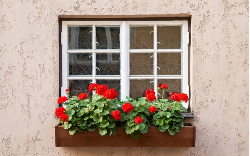 Muškát v okně