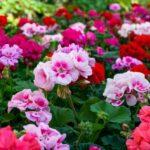Muškáty - pěstování, rozmnožování, zazimování a co s nimi na jaře