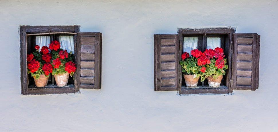 Muškáty vzpřímené v okně