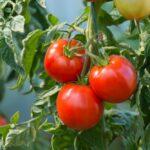 Jak pěstovat rajčata a jaké nemoci jejich nejčastěji postihují