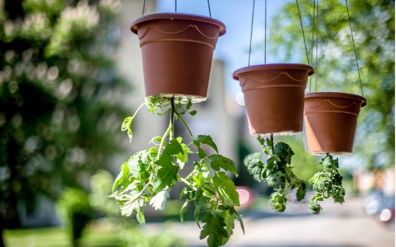 Pěstování rajčat hlavou dolů