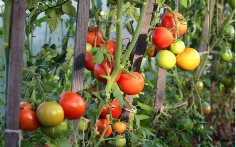 rajčata na kolících