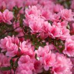 Azalka - pěstování, péče + 8 souvisejících faktů