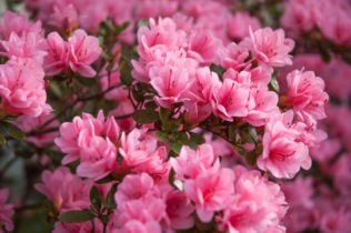 Azalka / rododendron