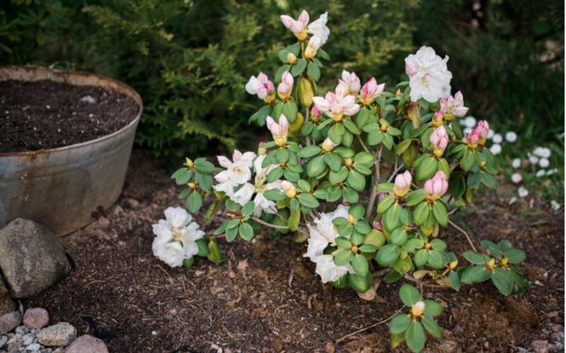 Růžový keř azalky s květiny v zahradě