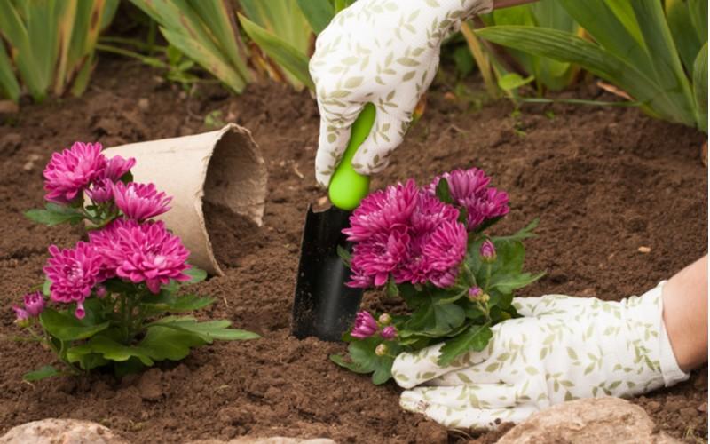 chryzantéma růžová rozmnožování přesazením