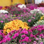 Chryzantéma - pěstování, rozmnožování, péči a symbolika rostliny