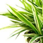 Dracena - dokonalá interiérová rostlina, jejíž pěstování zvládne i začínající zahrádkář