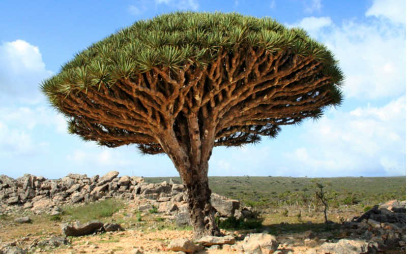 Dracena cinnabari (Dragon's blood tree - Dracena šarlatová)