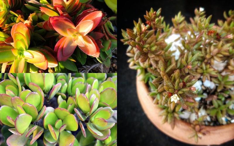 druhy tlustice - crassula capitella, crassula ovata, crassula humbertii