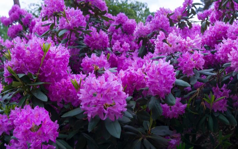 fialový rododendron
