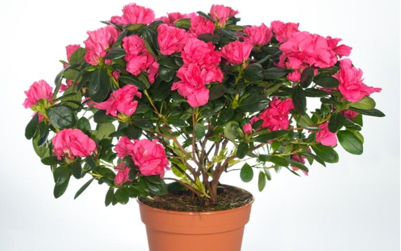 Ružová Indická azalka (Rhododendron simsii) v kvetináči