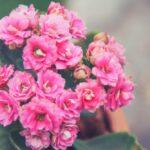 Kalanchoe - pokojová rostlina nenáročná na pěstování (kompletní přehled)