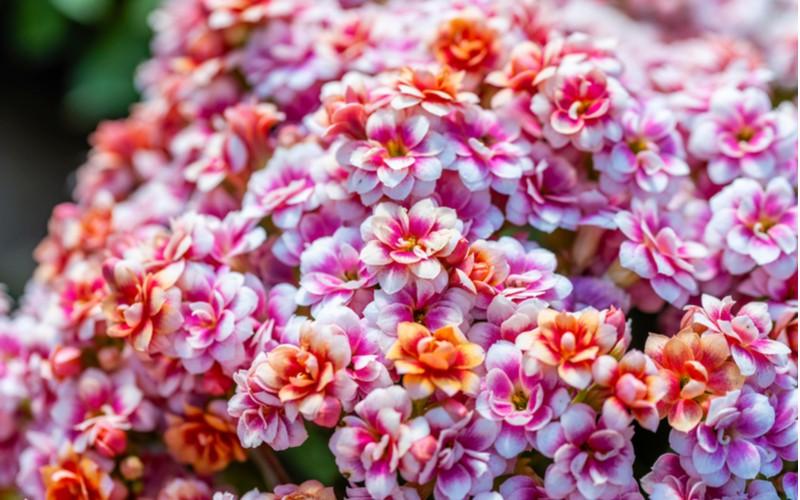 Kalanchoe blossfeldiana Calandiva