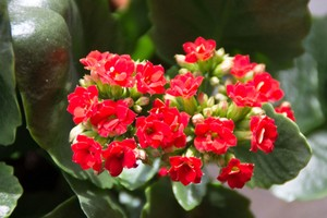 Kalanchoe blossfeldiana - červená