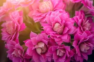 Kalanchoe blossfeldiana - fialový květ