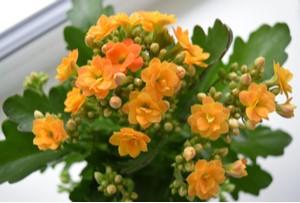 Kalanchoe blossfeldiana - oranžová
