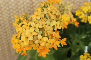 Kalanchoe blossfeldiana - žlutá