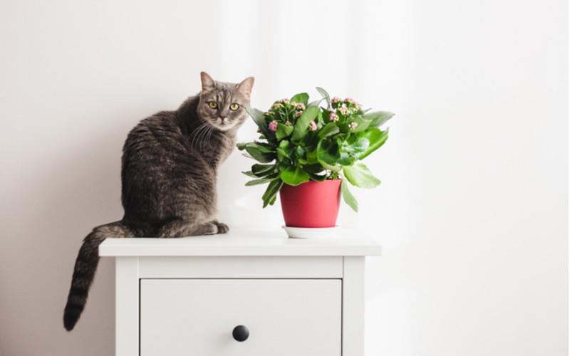 Kalanchoe a kočka - jedovatost (pozor na domácí mazlíčky)