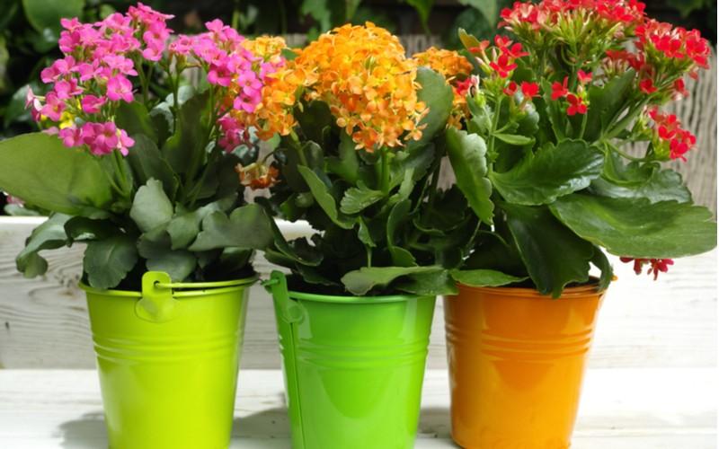 Kalanchoe tři rostliny