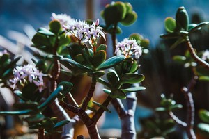 květiny tlustice