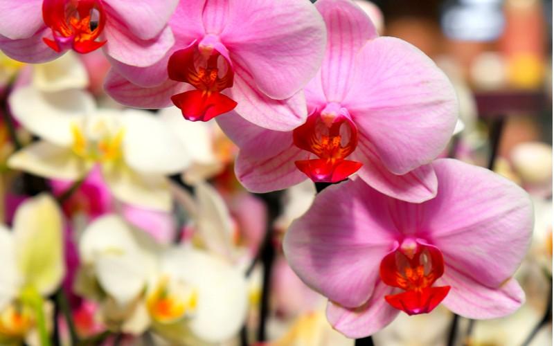 Monopodiálna orchidej phalaenopsis