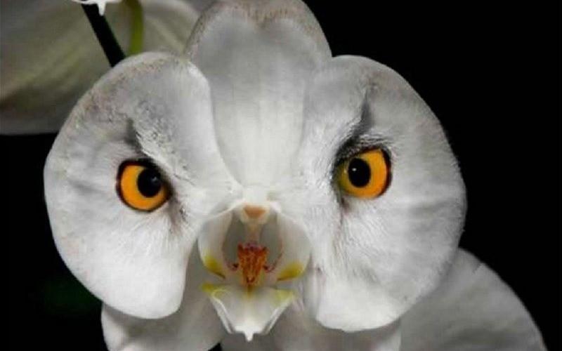 orchidej jako naštvaná bílá sova