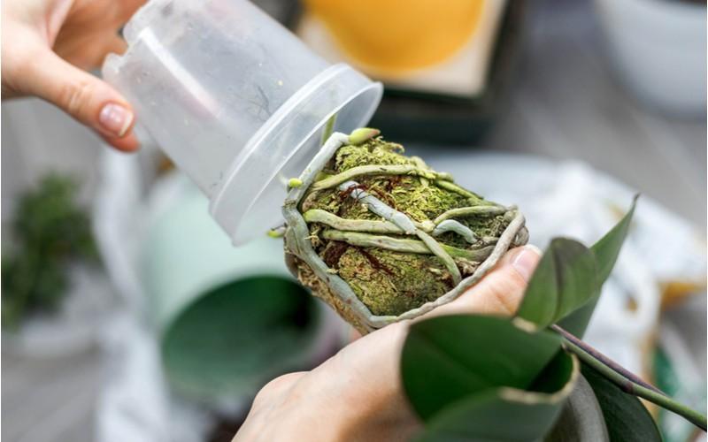 Přesazování orchideje