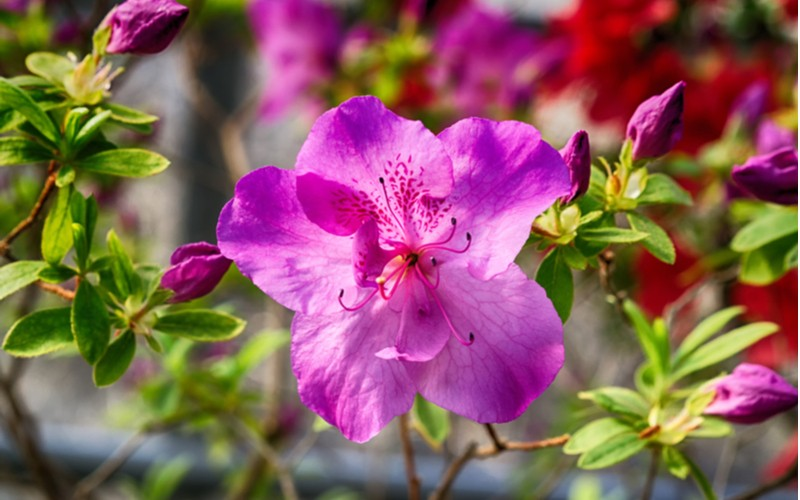 Azalka japonská růžový květ