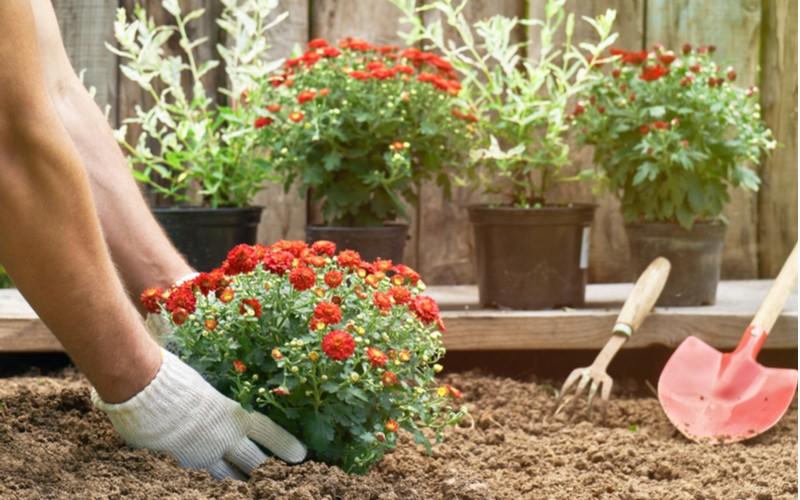 sázení červené chryzantémy v zahradě