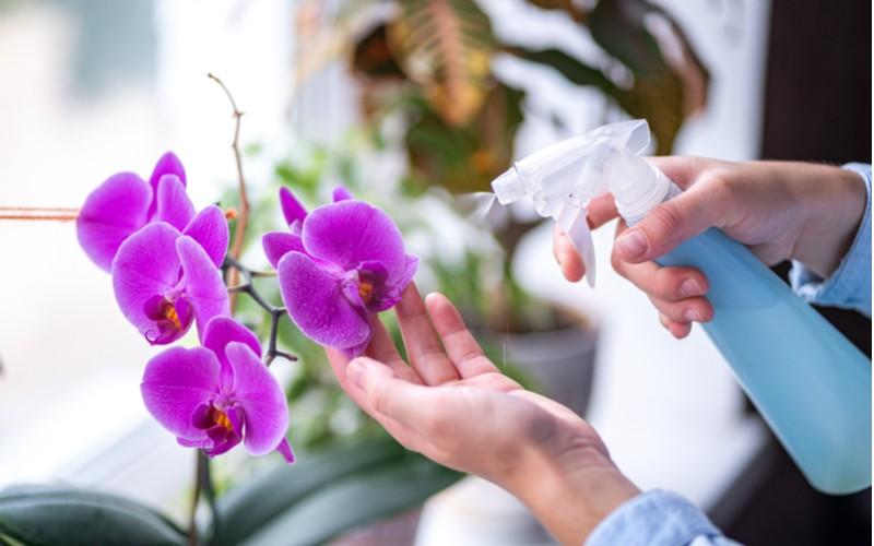 zalévání růžové orchideje