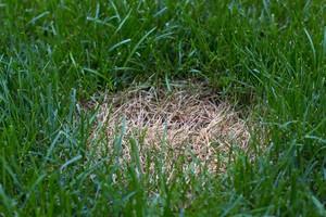 Antraknóza trávníku
