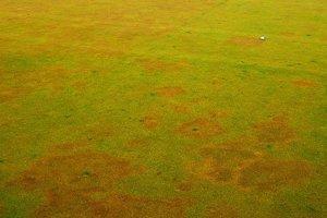 Bronzově hnědá ohniskovost trávníku