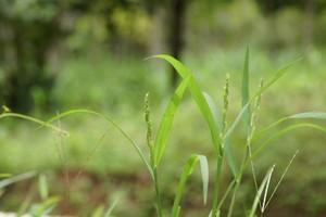 Plevel v trávníku - Ježatka kuří noha