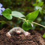 Jak se zbavit krtka v zahradě - pár zaručených způsobů a triků